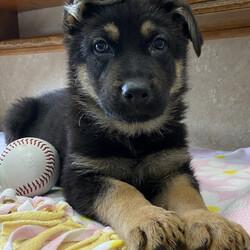 Marlene/German Shepherd Dog/Female/