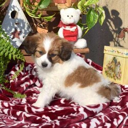 Daffy/Male /Male /Papillon Puppy
