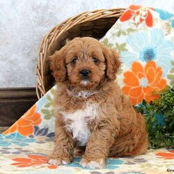 Johnny/Male /Male /Cavapoo Puppy