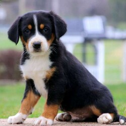 Jason/Male /Male /Greater Swiss Mountain Dog Puppy