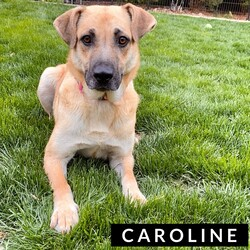 Adopt a dog:Caroline/German Shepherd Dog/Female/Adult,Caroline is a very sweet gal, she came to Iowa with her 8 puppies. Caroline can be shy at times but she shows her spunky playful side when she gets to know you! She is looking for a family to help build her confidence up and give her lots of love. Her estimated date of birth is 02/01/2019 and is a German Shepard mix. If you're interested in meeting Caroline and adding her to your family please fill out an application at https://rescuerehabrehome.org/adoption-applicationRescue Rehab Rehome does not adopt animals outside the state of Iowa. We do not adopt puppies to adopters living more than a 45 minute drive from the Des Moines metropolitan area. We are not able to respond to questions about an animal unless we have received an application.