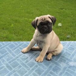 Cody/Male /Male /Pug Puppy